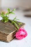 Roze bloemranunculus op oud boek Royalty-vrije Stock Afbeeldingen