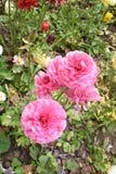 Roze bloemschoonheid Royalty-vrije Stock Fotografie