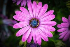 Roze bloemtop down mening Stock Foto's