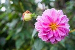 Roze bloesem royalty-vrije stock foto