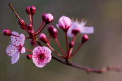 Roze Bloesem Royalty-vrije Stock Afbeeldingen