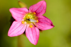 Roze bloesem Royalty-vrije Stock Afbeelding