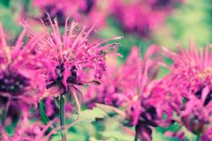 Roze bloesem Royalty-vrije Stock Foto's