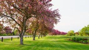 Roze bloesembomen naast een weg Royalty-vrije Stock Foto