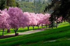 Roze Bloesems Royalty-vrije Stock Afbeelding