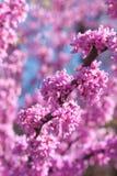 Roze Bloesems die op Oostelijke Redbud-Boom in de Lente bloeien Stock Foto