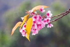 Roze bloesems op de tak selectieve nadruk met groene bladeren tijdens de lente het bloeien Tak met roze sakurabloesems en blauwe  Royalty-vrije Stock Afbeelding