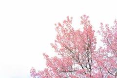 Roze bloesems op de tak tijdens de lente die in Doi Ang Khang bloeien Stock Foto's