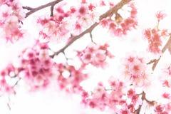 Roze bloesems op de tak tijdens de lente die in Doi Ang Khang bloeien Royalty-vrije Stock Afbeelding