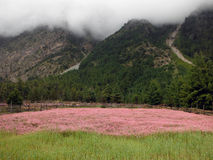 Roze Boekweitgebied in het Himalayagebergte tijdens Moesson royalty-vrije stock fotografie