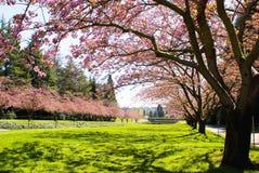 Roze bomen Stock Afbeelding