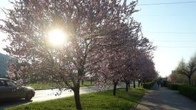 Roze Bomen in Stad royalty-vrije stock foto