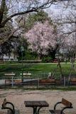 Roze boom in lentetijd in park royalty-vrije stock afbeelding