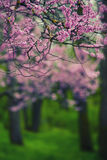 Roze boombloemen Royalty-vrije Stock Foto