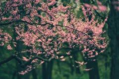 Roze boombloemen Royalty-vrije Stock Afbeeldingen