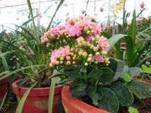 Roze Bossen Stock Foto's