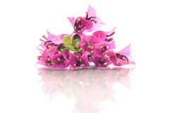 Roze bougainvillea Royalty-vrije Stock Foto