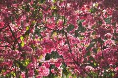 Roze Bougainvillea Royalty-vrije Stock Foto's