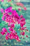 Roze bougainvillea. Stock Foto's