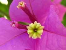 Roze Bougainvillea Royalty-vrije Stock Fotografie