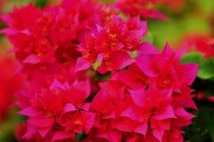 Roze Bougainvillea Stock Afbeeldingen