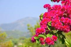 Roze bougainvillea en mening van berg Royalty-vrije Stock Foto