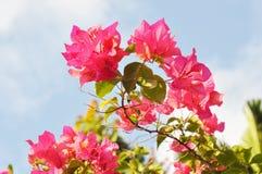 Roze bougainvilleabloem Royalty-vrije Stock Foto's