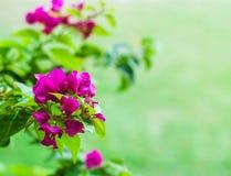 Roze bougainvilleabloemen Stock Fotografie