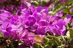 Roze bougainvilleabloemen, bij zonnige dag Stock Afbeelding