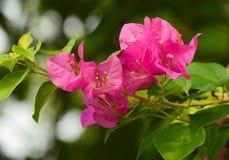 Roze bougainvilleabloemen op onscherpe groene achtergrond Stock Foto