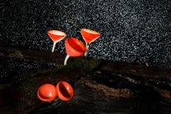 Roze brandwondkop (Tarzetta Rosea (Rea) royalty-vrije stock foto
