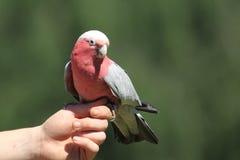 Roze-Breasted kaketoe royalty-vrije stock afbeelding
