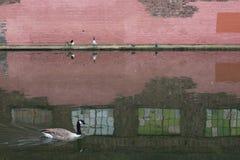 Roze brickwall met ganzen stock afbeelding