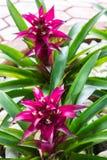 Roze Bromelia Stock Afbeelding
