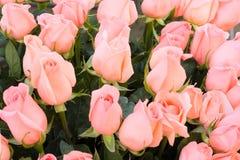 Roze bruids rozenclose-up als achtergrond Royalty-vrije Stock Afbeeldingen