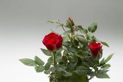 Roze Bush Stock Foto
