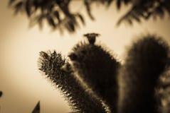 Roze Cactusbloem Stock Afbeeldingen