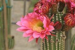 Roze Cactusbloem en Bloemknoppen stock afbeelding