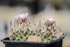 Roze cactusbloem, Turbinicarpus-schmiedickeanus tegen blurr stock afbeelding