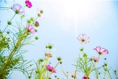 Roze calliopsis Stock Foto