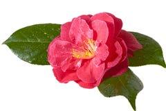 Roze camelia Stock Foto's