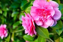 Roze camelia Royalty-vrije Stock Afbeelding