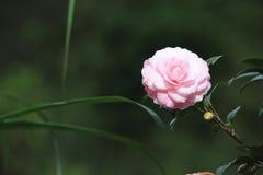 Roze cameliabloem Stock Afbeeldingen