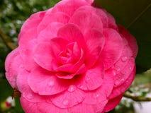 Roze Camellia Japonica met Ochtenddauw royalty-vrije stock afbeeldingen