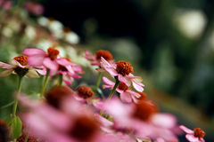 Roze camomiles Stock Foto