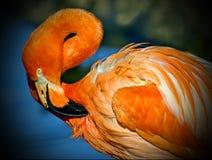 Roze Caraïbische flamingo lat Phoenicopterus Schoonheid, gunst, een speciale charme en een uniciteit van flamingo's stock afbeeldingen