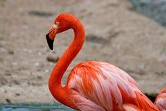 Roze Caraïbische flamingo Phoenicopterus Schoonheid, gunst, een speciale charme en een uniciteit van flamingo's royalty-vrije stock foto