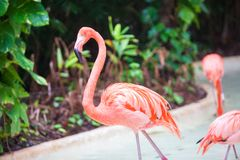 Roze Caraïbische flamingo's in water Stock Foto