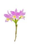 Roze cattleyaorchidee royalty-vrije stock foto
