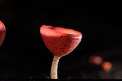 Roze champagnepaddestoel Royalty-vrije Stock Afbeeldingen